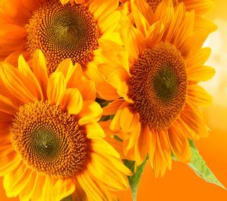 Обои на телефон растения, цветы, сезон, подсолнухи, весна