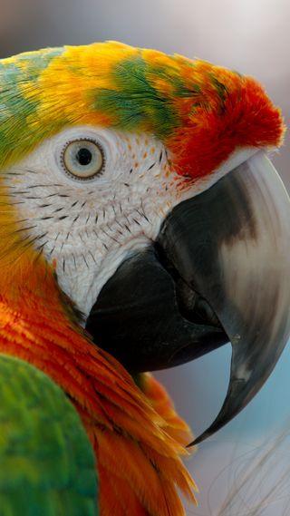 Обои на телефон попугай, rot, par