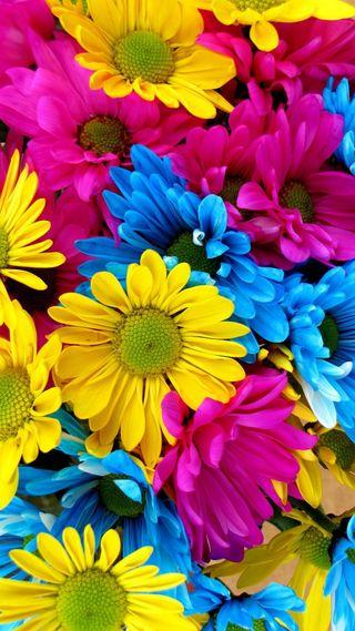 Обои на телефон маргаритка, цветы, цветные