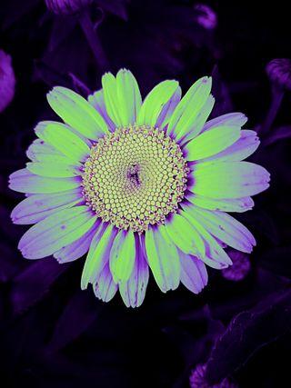 Обои на телефон маргаритка, цветы, сумасшедшие, природа, crazy daisy