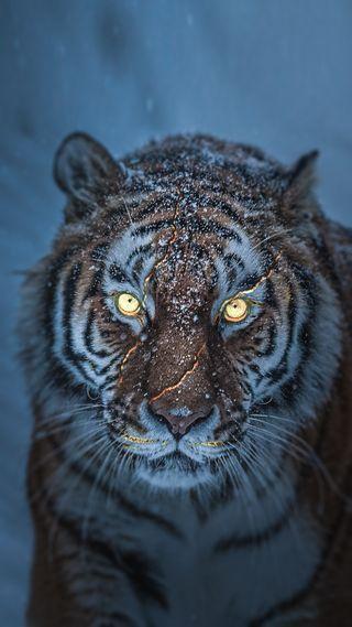 Обои на телефон тигр, снег, глаза, the tiger 2
