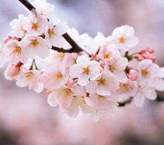 Обои на телефон вишня, цветы, цвести, природа, cherry blossom