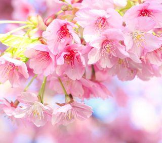 Обои на телефон сакура, цвести, розовые, природа, прекрасные, весна