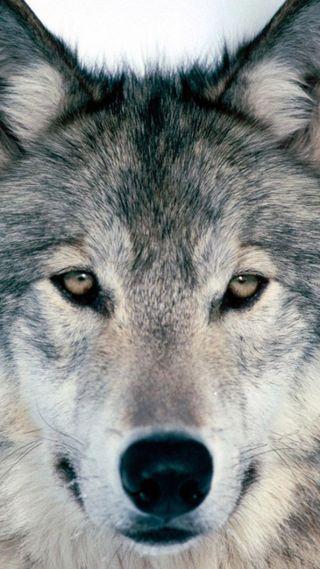 Обои на телефон отец, волк, wolf-88j-wolf