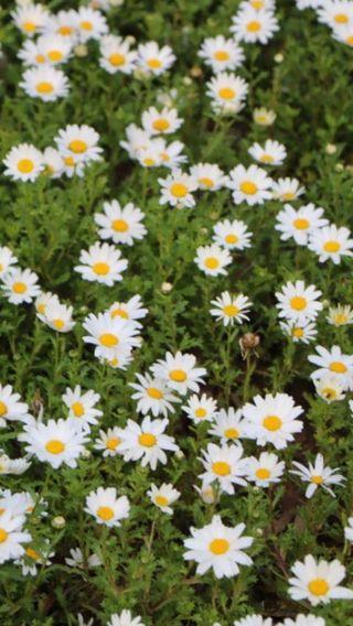 Обои на телефон фотографии, цветы, крутые, вид, papatya, cimler, cicek