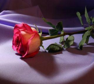Обои на телефон один, цветы, розы, природа