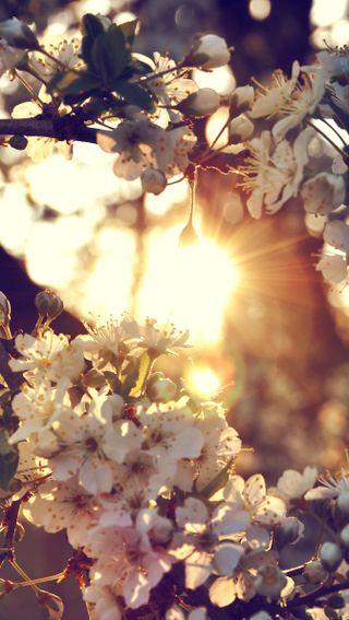 Обои на телефон сакура, природа, белые, white sakura