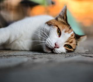 Обои на телефон питомцы, оранжевые, кошки, белые, pets loyal 11