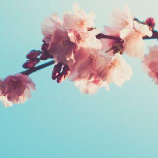 Обои на телефон расцветает, вишня, цветы, розовые