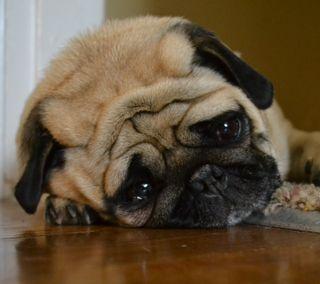 Обои на телефон питомцы, собаки, мопс, животные, грустные, aww, annoyed