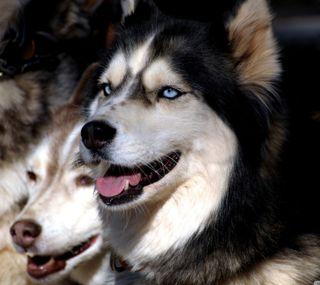 Обои на телефон хаски, питомцы, собаки, животные, huskies