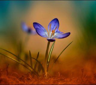 Обои на телефон лепестки, цветы, цветные, фиолетовые, синие, маленький, крошечный, весна, crocus