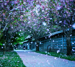 Обои на телефон сакура, цветы, парк