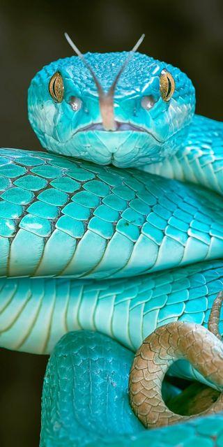 Обои на телефон змея, синие, python