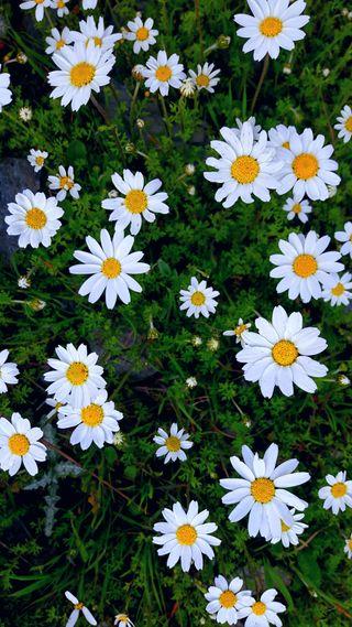 Обои на телефон крутые, приятные, цветы, маргаритка, фотографии