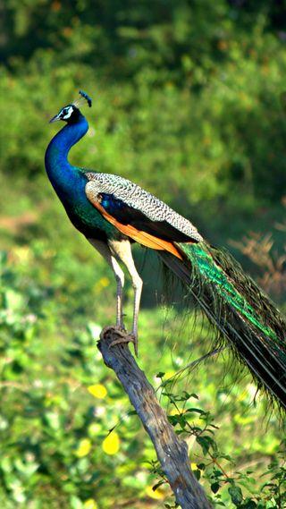 Обои на телефон павлин, синие, птицы