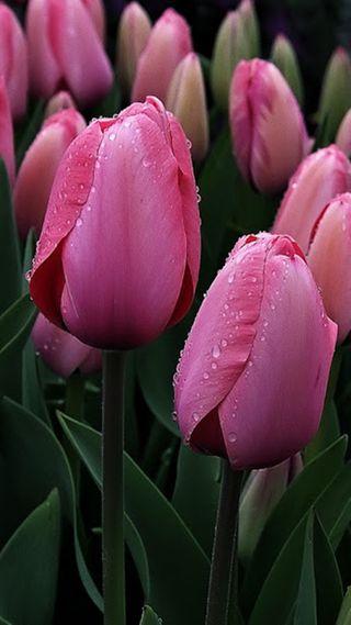 Обои на телефон тюльпаны, розовые