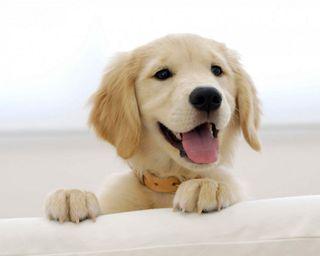 Обои на телефон щенки, собаки, золотые, golden retriever