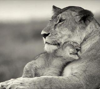 Обои на телефон черные, лев, белые, tenderness