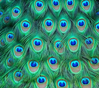 Обои на телефон павлин, синие, птицы, прекрасные, перья, красочные, зеленые