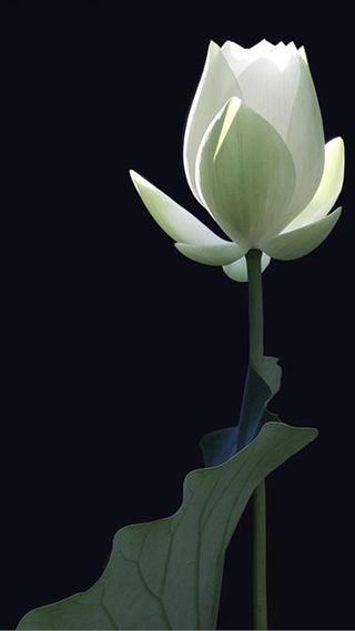 Обои на телефон лотус, черные, цветы, зеленые, белые, white lotus 1
