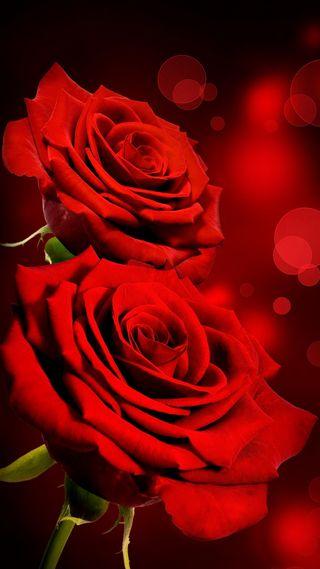 Обои на телефон боке, цветы, розы, любовь, красые, love