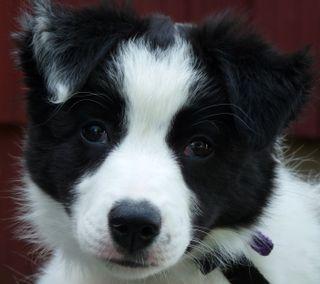 Обои на телефон щенки, черные, собаки, белые, collie puppy, collie