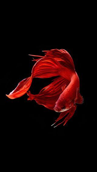 Обои на телефон черные, рыба, красые, боец, белые, fighter fish 8