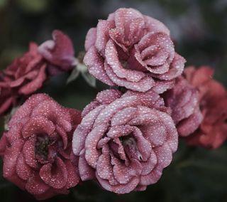 Обои на телефон мокрые, цветы, дождь, бордовые, carnation
