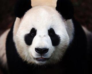 Обои на телефон китай, панда, медведи, животные, белые