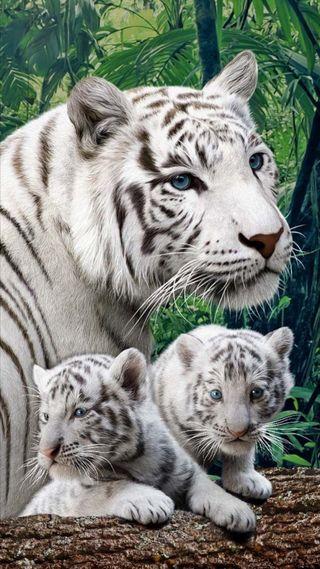 Обои на телефон природа, белые, животные, дикие, тигры