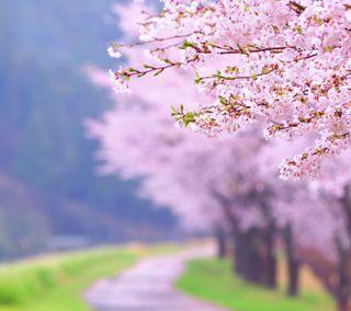 Обои на телефон сакура, цвести, розовые, путь, природа, прекрасные, весна, sakura path, sakura blossom, pink beautiful, path nature