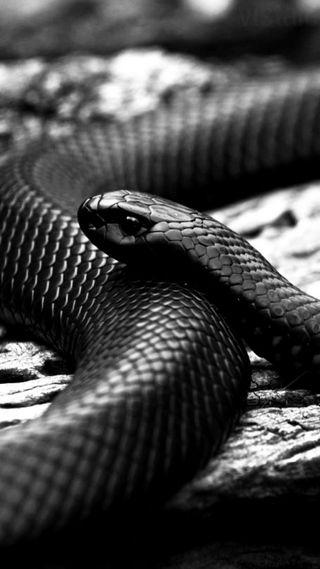 Обои на телефон змея, черные