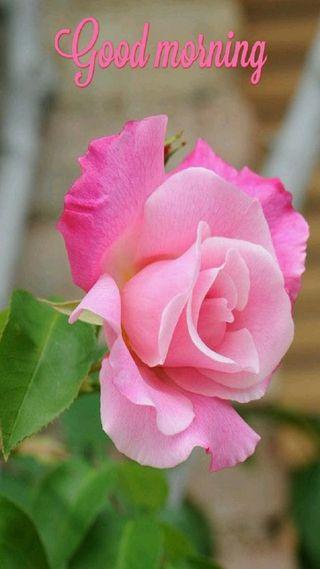 Обои на телефон утро, розы