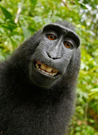 Обои на телефон обезьяны, черные
