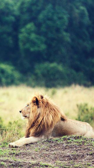 Обои на телефон джунгли, лев, король, king of jungle