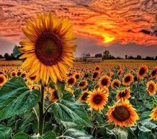 Обои на телефон подсолнухи, приятные, поле, взгляд, sunflowers field
