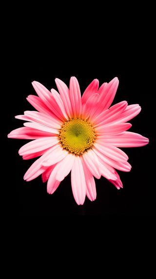 Обои на телефон маргаритка, цветы, розовые, природа, pink daisy hd