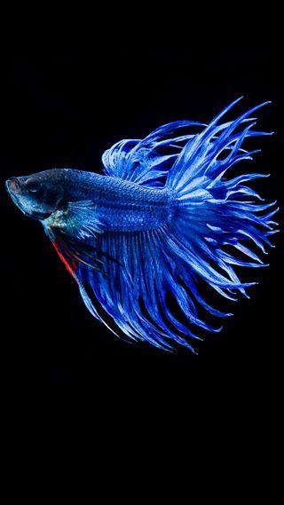 Обои на телефон рыба, синие, питомцы, океан, море, животные, вода, hd, betta
