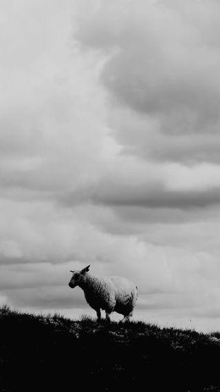 Обои на телефон фото, простые, природа, овца, облака, норвегия, крутые, животные, sheep happens