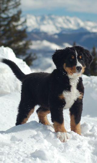 Обои на телефон щенки, черные, солнце, снег, дерево, горы, белые, mountain puppy, labrador