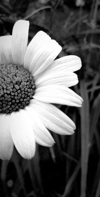 Обои на телефон маргаритка, черные, цветы, белые, siyah, papatya