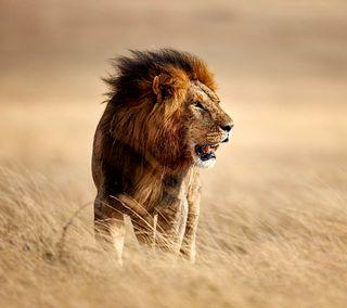 Обои на телефон дикие, лев