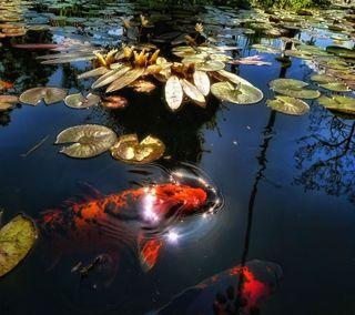 Обои на телефон рыби, лотус, рыба, пруд, природа, листья, красые, красочные, вода, pond fish hd, hd, 2013