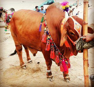 Обои на телефон сильный, реал, пакистан, бык, cow qurbani, cow