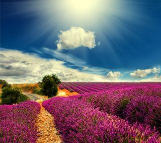 Обои на телефон солнечный свет, франция, природа, поле, лаванда, provence, countryside