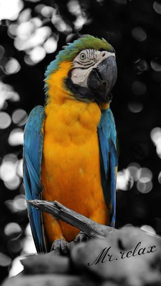Обои на телефон попугай, птицы, малайзия, relax1, macau, birds1