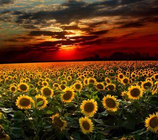 Обои на телефон цветы, природа, подсолнухи, пейзаж, darkdroid