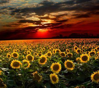 Обои на телефон растения, цветы, поле, подсолнухи, закат