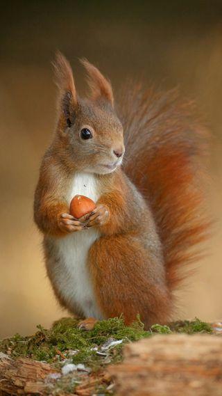 Обои на телефон белка, scoiattolo, icio